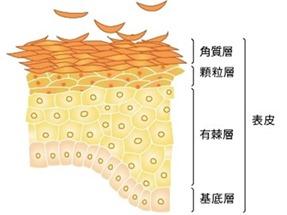 角质层结构