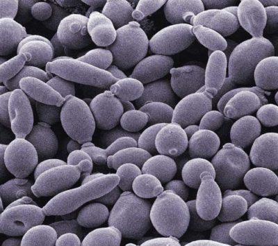 酵母菌结构