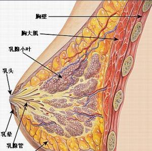 丰胸-乳房结构
