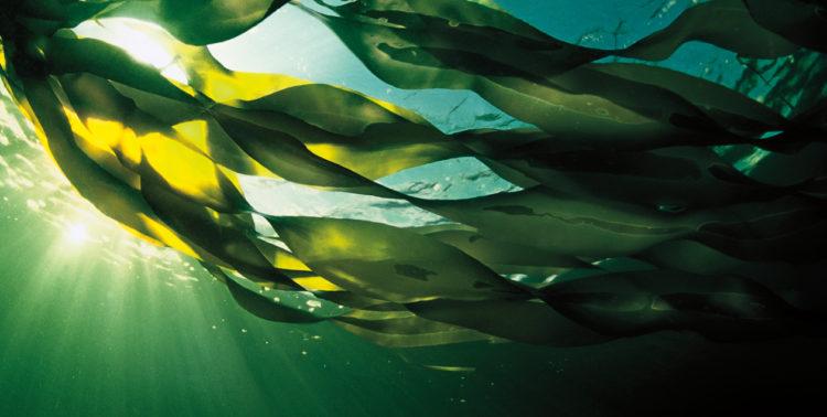 布列塔尼海藻