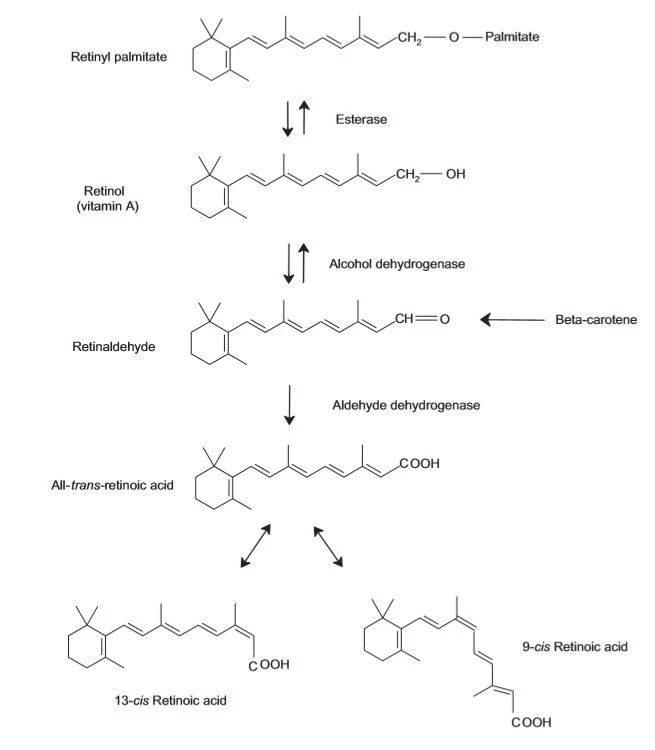 【视黄醇棕榈酸酯】转化到A酸
