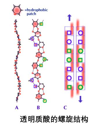 透明质酸有3D的螺旋结构