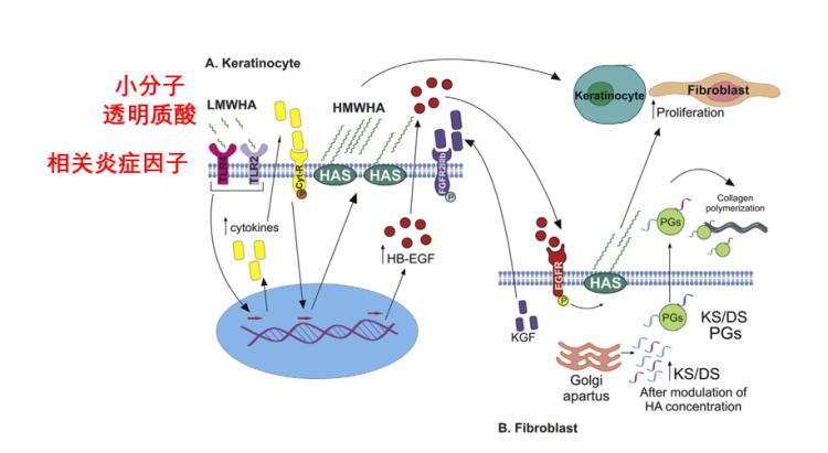 低分子量的透明质酸可能引起炎症反应