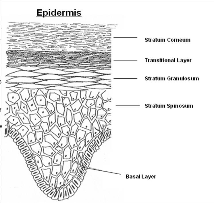 皮肤的结构-表皮